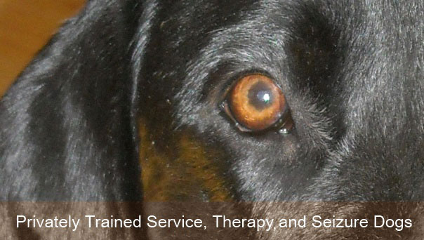 Privately Trained Service, Therapy and Seizure Dogs